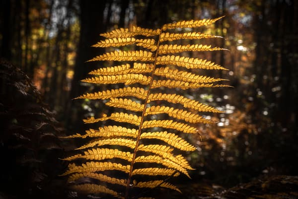 Backlit Fern in Autumn Gold. Maine fern captured in dappled fall light by fine art photographer Mike Taylor of Taylor Photography.