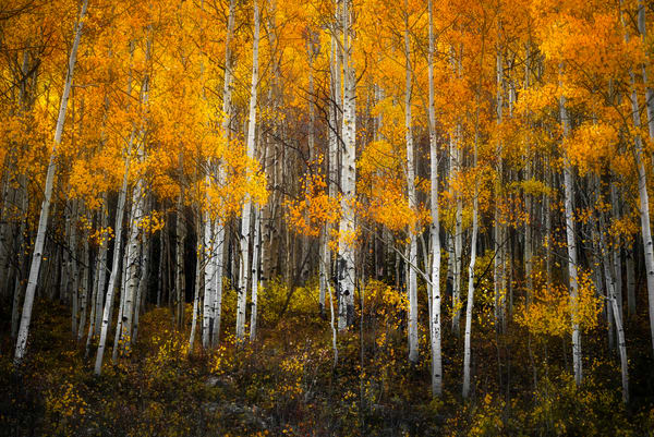 Colorado Aspens in golden fall foliage. Autumn colors of the American west by landscape photographer Mike Taylor of Taylor Photography.