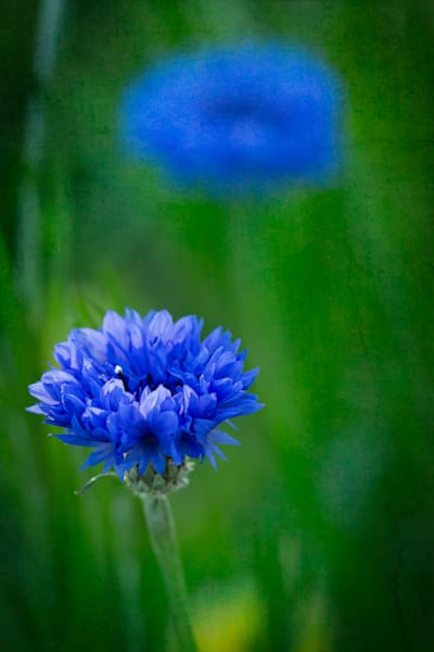Garden Blues by Mike Caplan