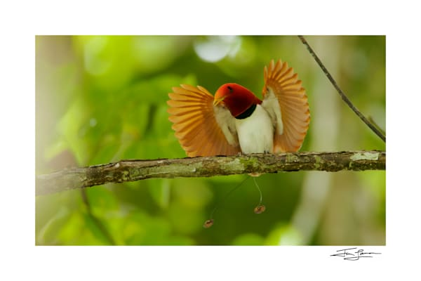 birds of paradise photographs for sale.  King Bird of Paradise displaying.