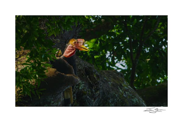 Photograph of an endangered helmeted hornbill at nest in Thailand.