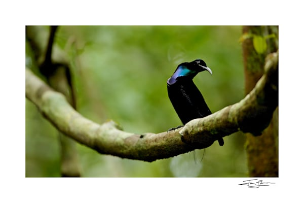 Photograph of Magnificent Riflebird Bird of Paradise for sale.