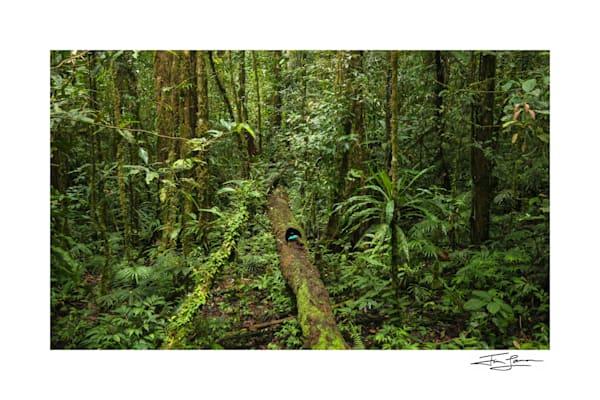 Vogelkop Superb Bird Of Paradise In Rainforest Art | Tim Laman