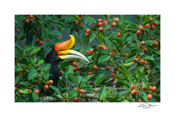 Photograph of Rhinoceros Hornbill Surrounded by Figs in Thailand.  Fine art for your home.
