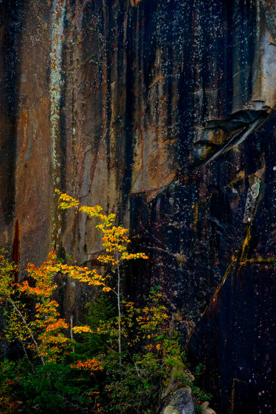 tree and stone quarry wall, Maine