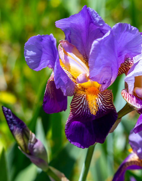 Gorgeous Purple Bearded Iris Photography Art | Catherine Balck Photography