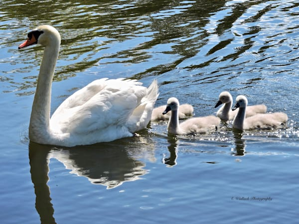 Mute Swan Mom And Her Cygnets Art by East End Arts