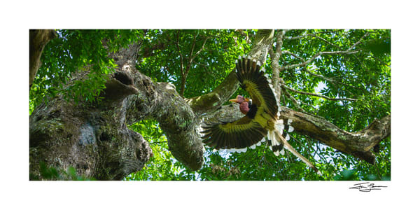 Photograph of a Helmeted Hornbill male landing in large tree.