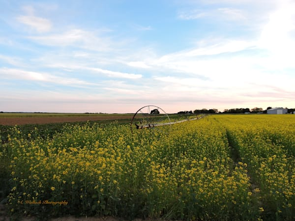 Mustard Fields Aglow Art | East End Arts