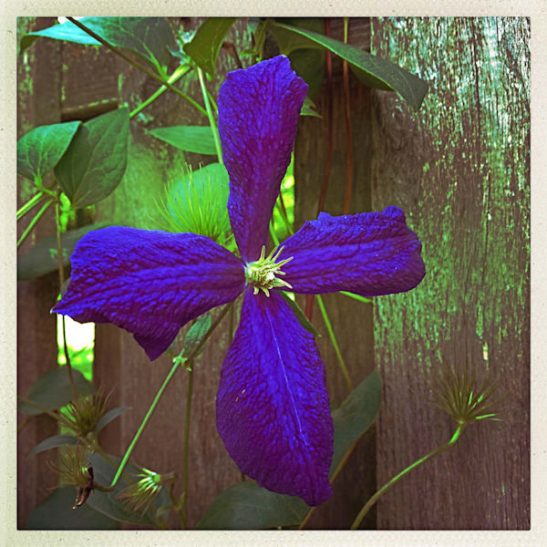 Purple Clematis|Fine Art Photography by Todd Breitling