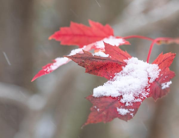 Snow On Maple Leaves | Closer Views Photography