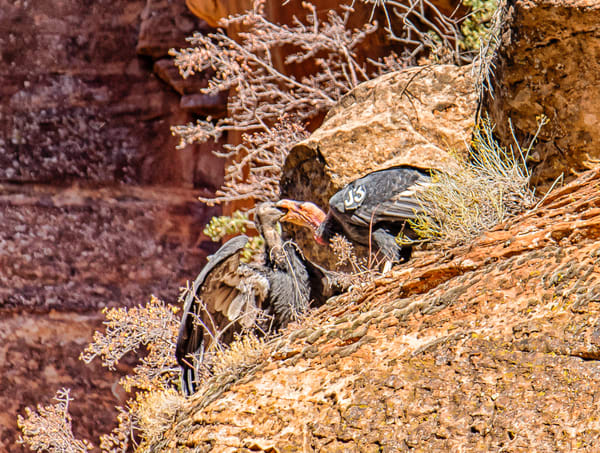 Zion California Condor 3 Art | Michael Blanchard Inspirational Photography - Crossroads Gallery