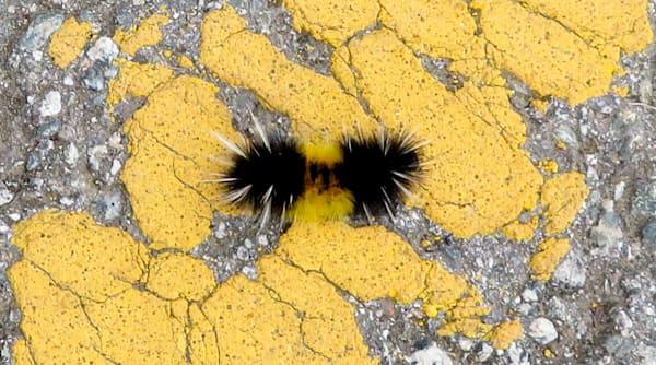 Yellow, Orange, and Black Caterpillar on Yellow Paint on Asphalt
