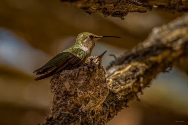 DP476 Humming Bird on nest