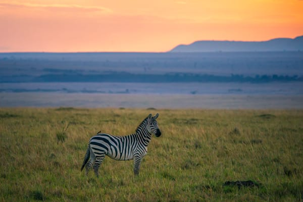 Zebra At Sunset Photography Art | Carol Brooks Parker Fine Art Photography