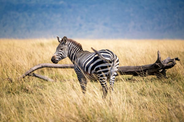A Fortunate Zebra Photography Art | Carol Brooks Parker Fine Art Photography