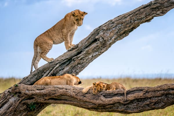 Lion Cubs Up A Tree Photography Art | Carol Brooks Parker Fine Art Photography