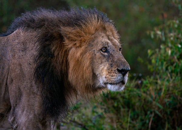 Wet Lion Photography Art | Carol Brooks Parker Fine Art Photography