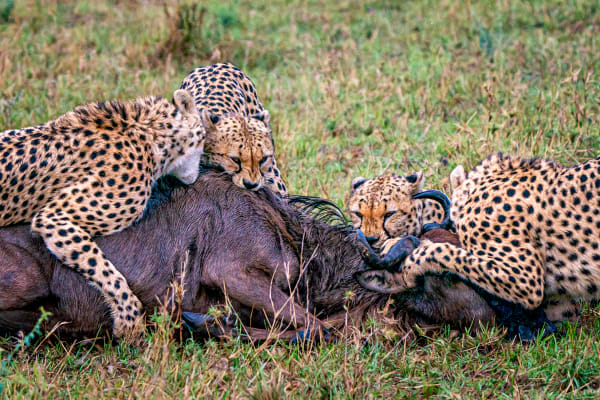 Cheetah Kill #2 Photography Art | Carol Brooks Parker Fine Art Photography