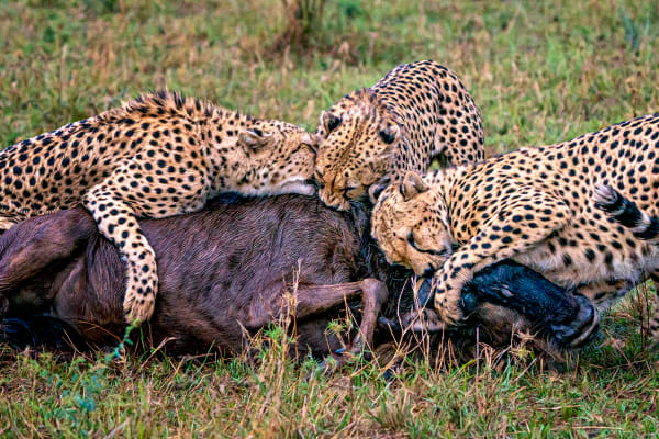 Cheetah Kill #1 Photography Art | Carol Brooks Parker Fine Art Photography