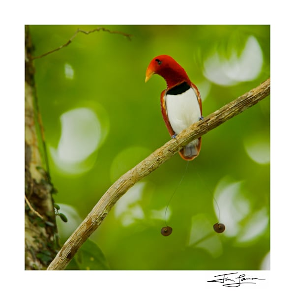 King Bird Of Paradise Perched Photography Art | Tim Laman