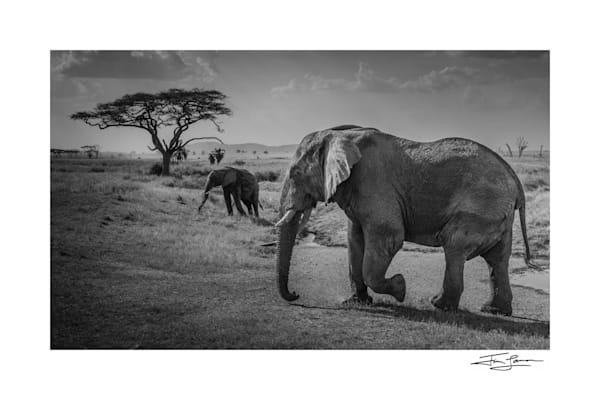 Old Tusker and Protoge