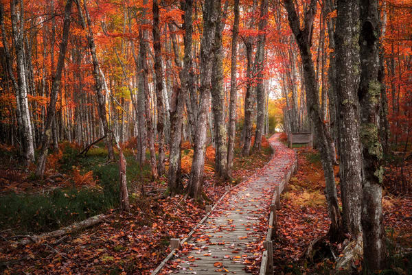 Jesup Trail Boardwalk Through Fall Foliage. Autumn colors brighten popular trail in Maine's Acadia National Park by landscape photographer Mike Taylor of Taylor Photography.