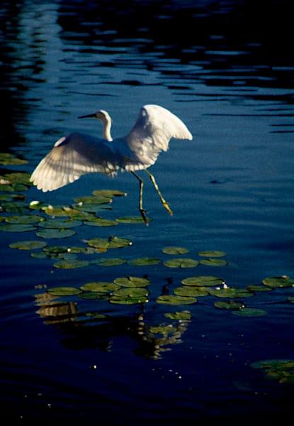 Crane In Flight Photography Art | Dan Katz, Inc.