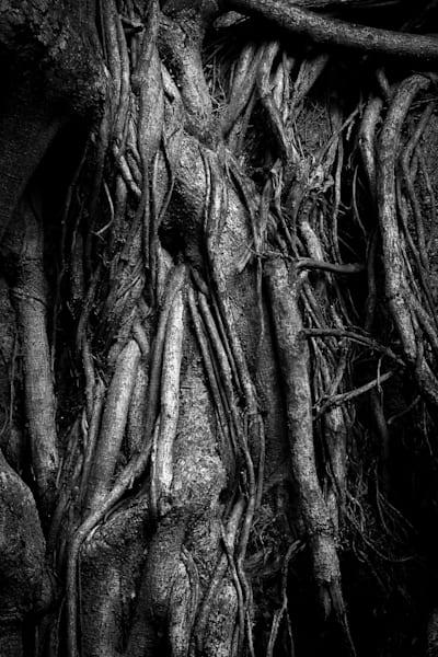 Hanging Roots Maui Photography Art | Dan Katz, Inc.