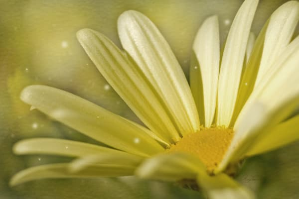 Yellow Daisy, is a delicate flower from my garden/ Shop fine art photography by An Artist's View Photography