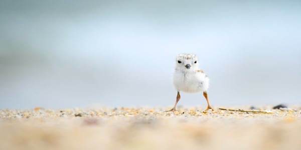 Baby Piping Plover standing on a beach