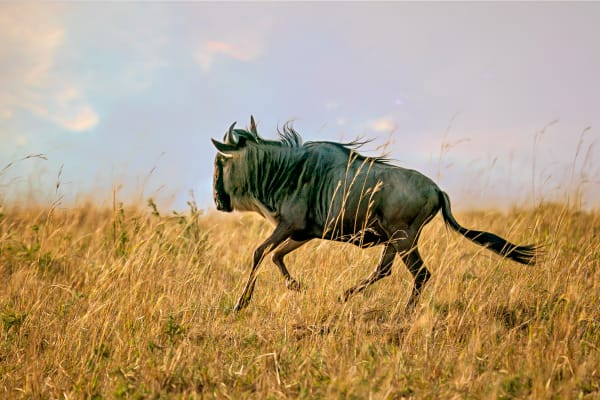 Galloping Wildebeest Photography Art | Carol Brooks Parker Fine Art Photography