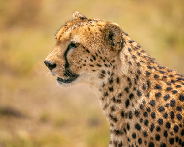 Portrait Of A Cheetah Photography Art | Carol Brooks Parker Fine Art Photography
