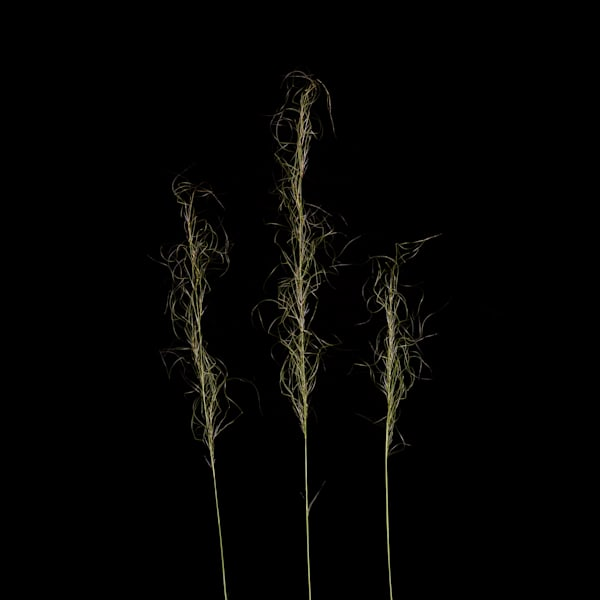 Later: Three Grasses Outside Of Windsor Vermont
