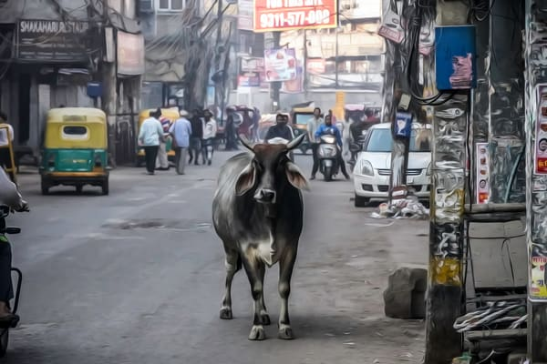 Cow Old Delhi India Photography Art | bohcay LLC
