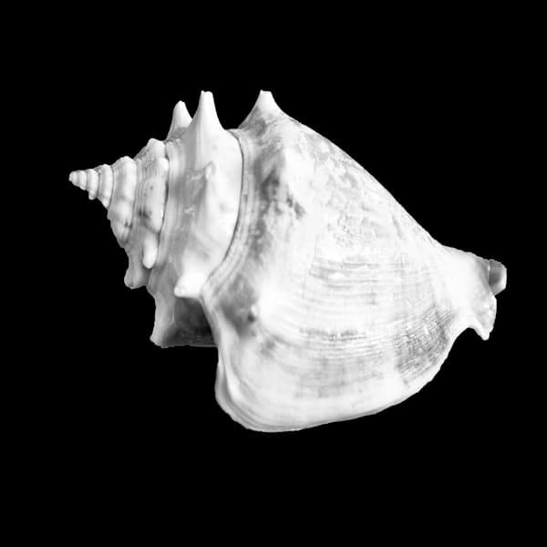 Shell Conch Photography Art | Rosanne Nitti Fine Arts