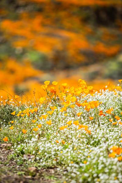 Spring Poppy Fields Photography Art | Rosanne Nitti Fine Arts