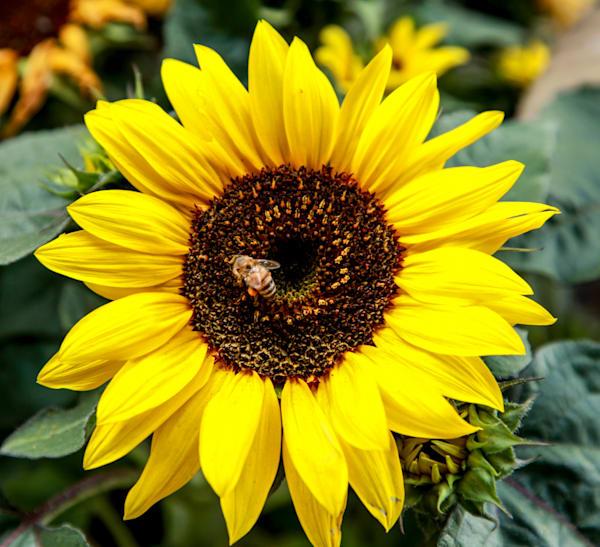 Sunflower Photography Art   Rosanne Nitti Fine Arts