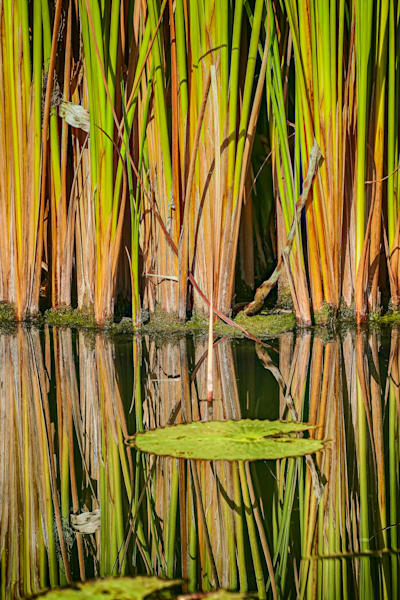 Reed Reflections Photography Art   Rosanne Nitti Fine Arts