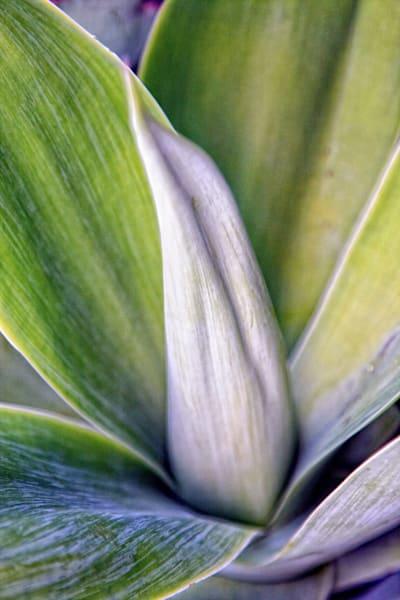 Succulent 1 Photography Art   Rosanne Nitti Fine Arts
