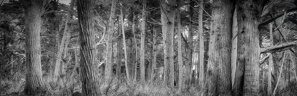 Crocker Grove   Monterey California Photography Art | Rosanne Nitti Fine Arts