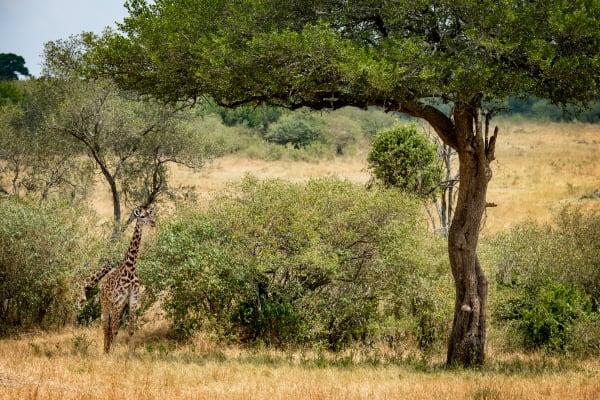 Giraffe Under Tree