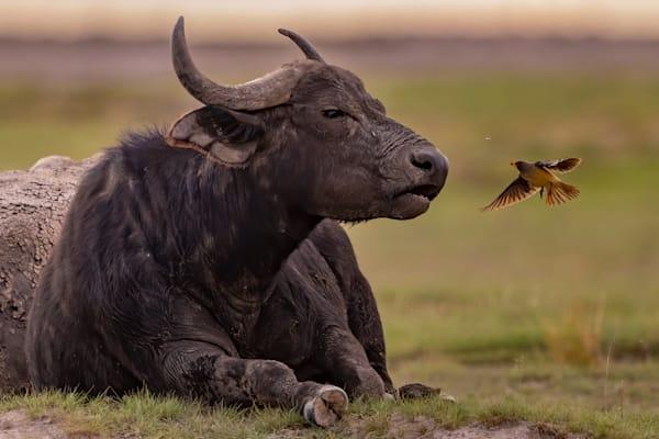 Buffalo, Birds, and Bugs