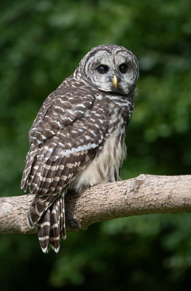 a curious barred owl looks over it's shoulder - fine art photography photographs - barred owl