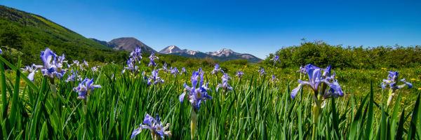 Wild Iris LaSal Mts