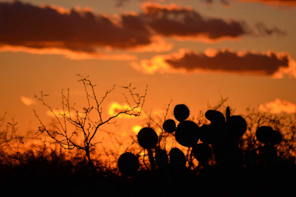 Photograph of Prickly Pear at sunset for sale as Fine Art