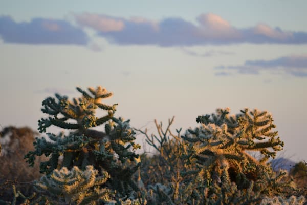 Photograph of Cholla cactus in morning light for sale as fine art
