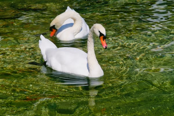 Swans On Rhine River Photography Art   ePictureGallery