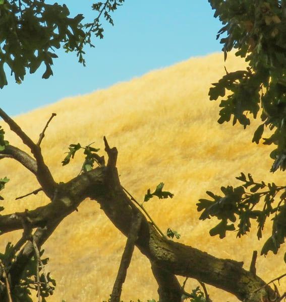 Black Oak 3, Lime Ridge Open Space, Walnut Creek, CA