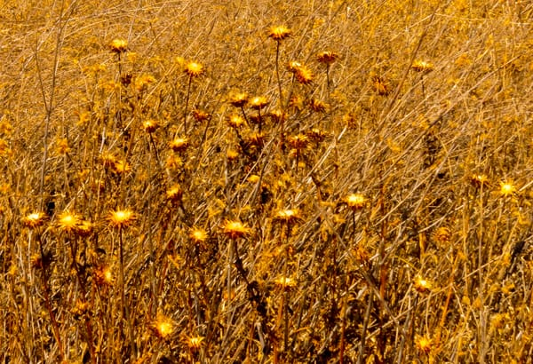 Weeds Gone To Seed Photography Art | Ron Olcott Photography
